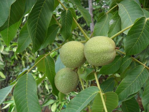 Walnut (Manregion)