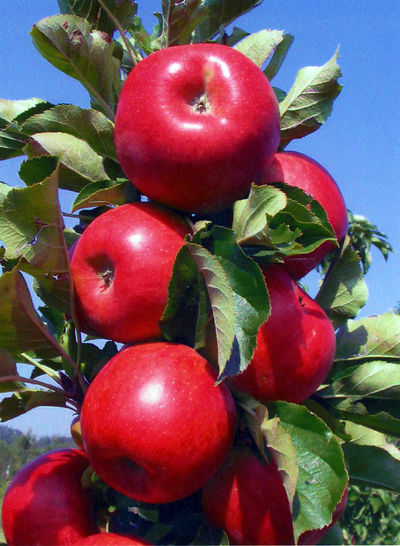 apple tree northpole