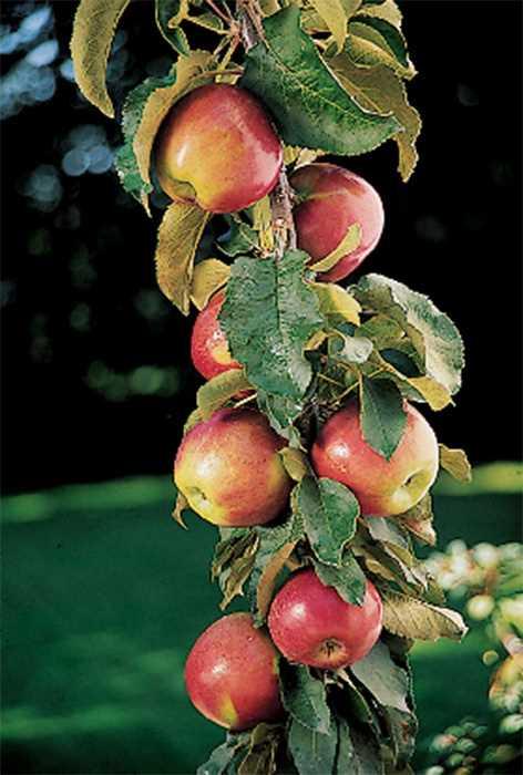 Columnar Apple Tree Scarlet Sentinal