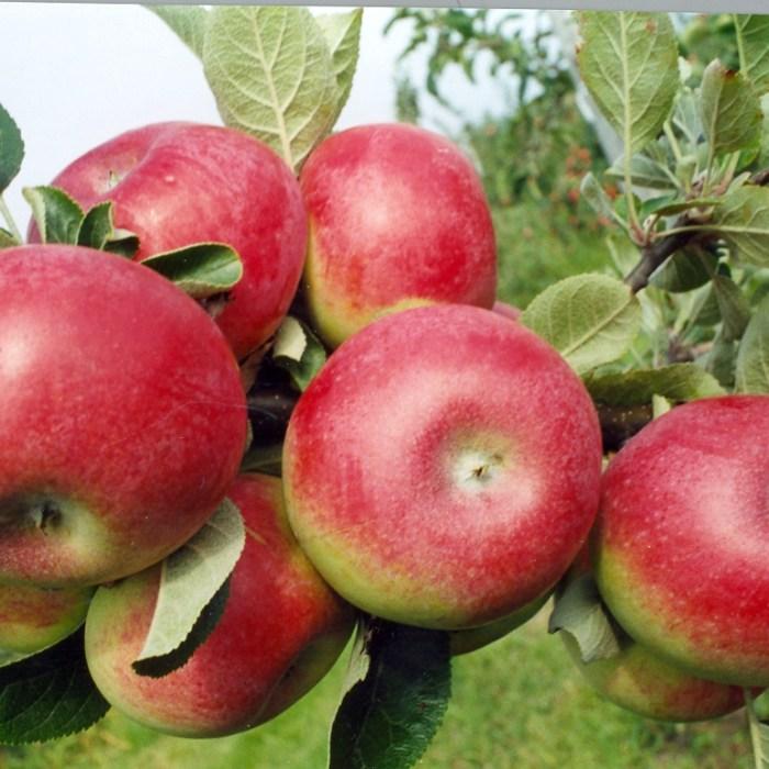 4 way combination apple tree