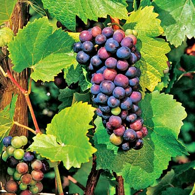 grape vine pinot noir