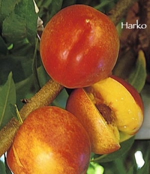 peach tree harko