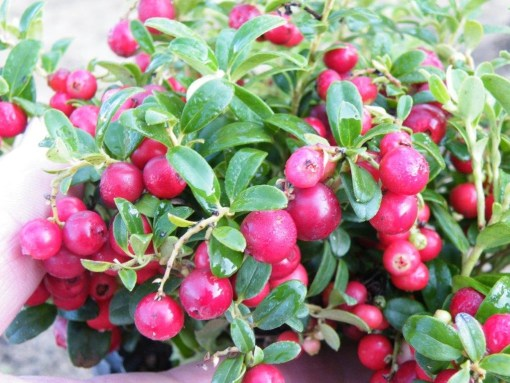 Lingonberry red sunset