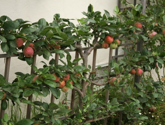 espaliered apple tree