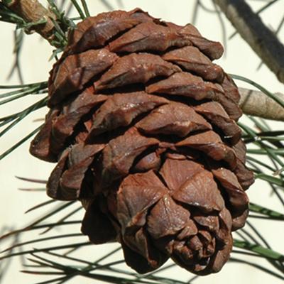 siberian stone pine