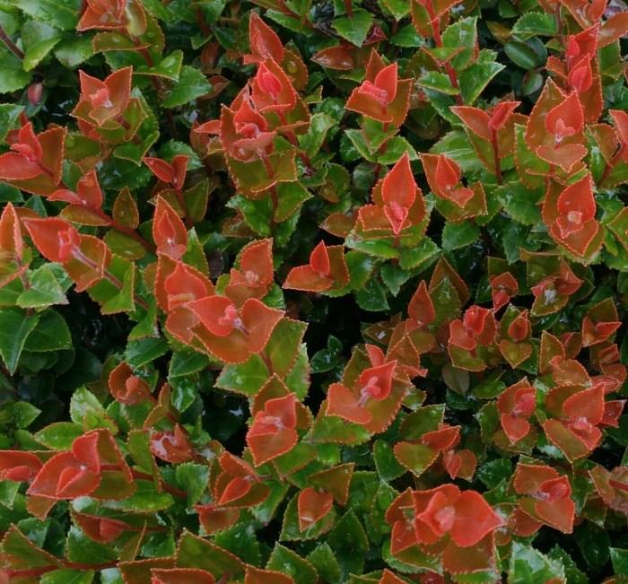 scarlet ovation evergreen huckleberry