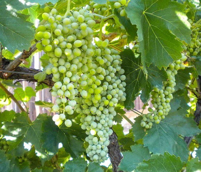 grape vine thompson seedless