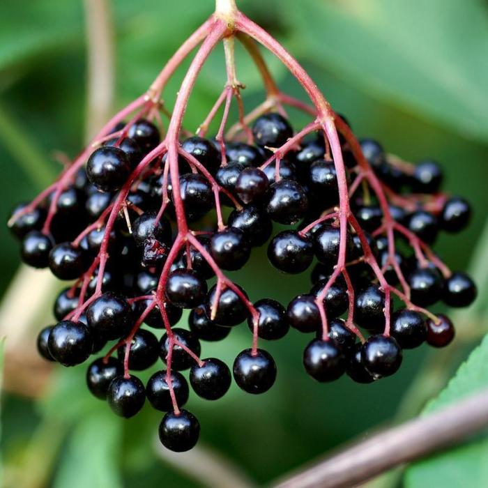 elderberry korsor