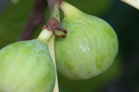 fig tree conadria
