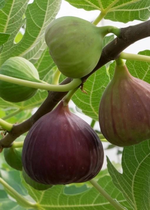 fig tree little ruby