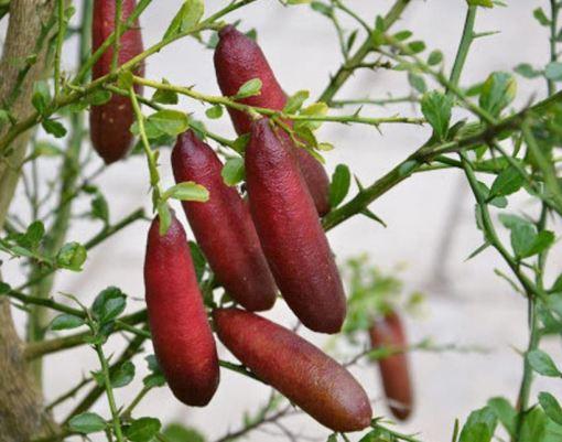 red australian finger lime