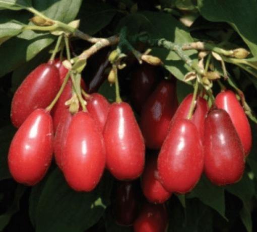red star cornelian cherry