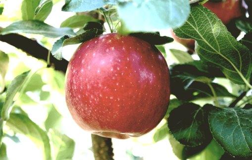 apple tree cosmic crisp