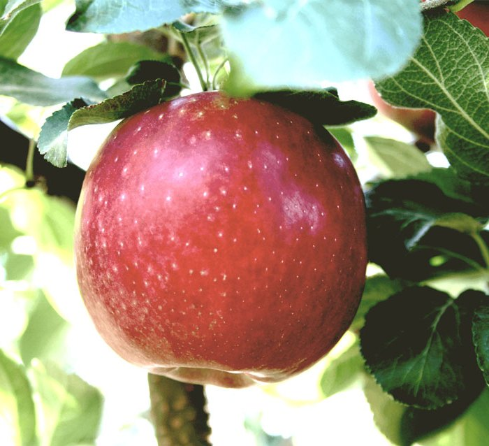 apple tree cosmic crisp