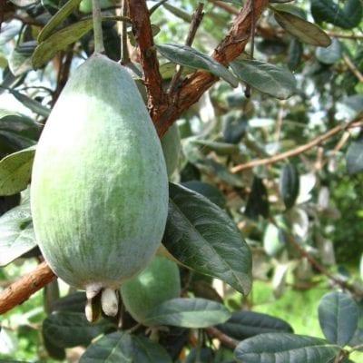pineapple guava takaka