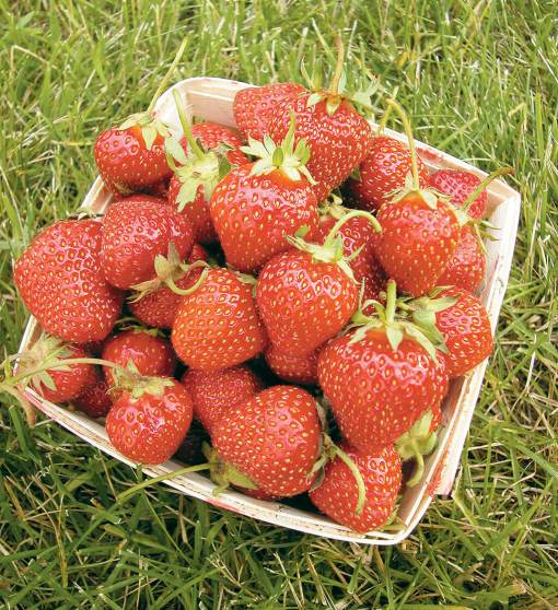 strawberry allstar