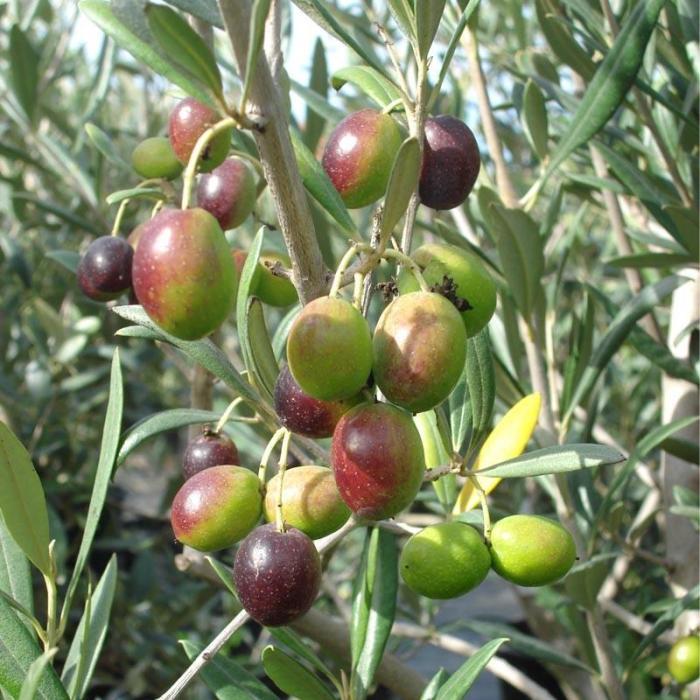 olive tree favarol