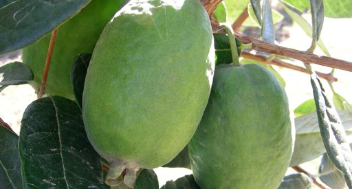 pineapple guava kakariki