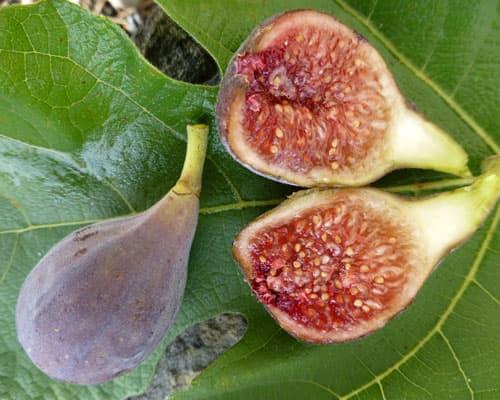 fig tree celeste
