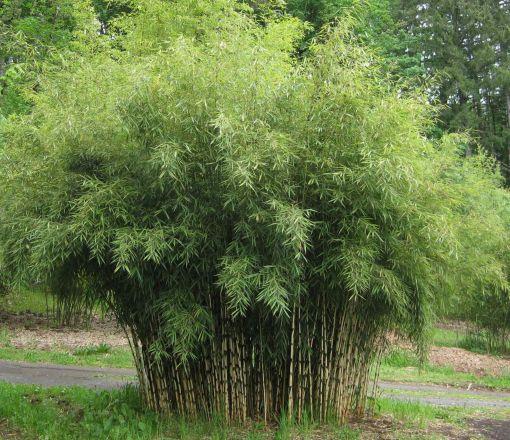 ivory column bamboo clump