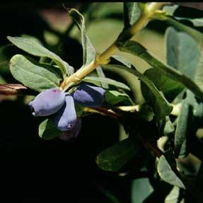 honeyberry Blue Pacific