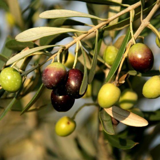 mission olive