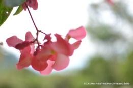 alegría rosada