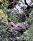 gavilán pollero 11