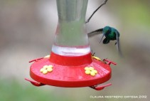 colibrí chillón 16