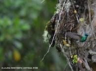 colibrí chillón 6