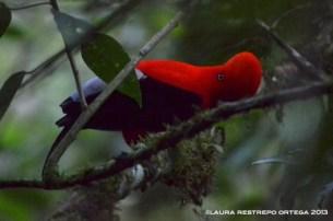 rupicola peruvianus 2