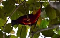 rupicola peruvianus 38