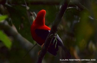rupicola peruvianus 44