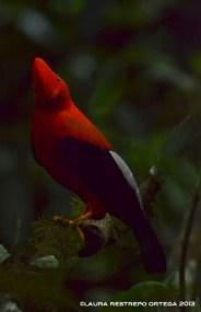 rupicola peruvianus 46