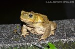 amphibians 36