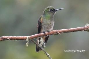 reserva orejiamarillo colibrí 11