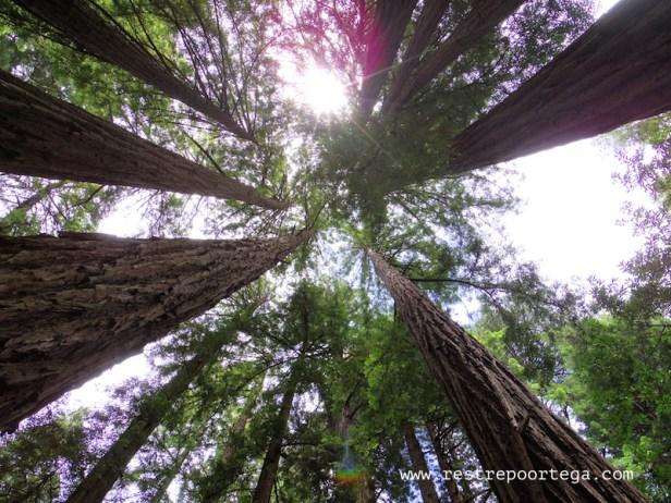 Muir Woods near San Francisco