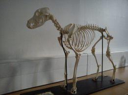 Esqueleto de perro. Universidad Edimburgo. Foto: Marta Menacho.