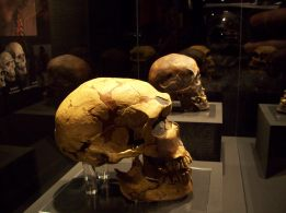 Cráneos de Neandertal y Cromañón. Museo Arqueológico Regional (Alcalá de Henares). Foto: Marta Menacho
