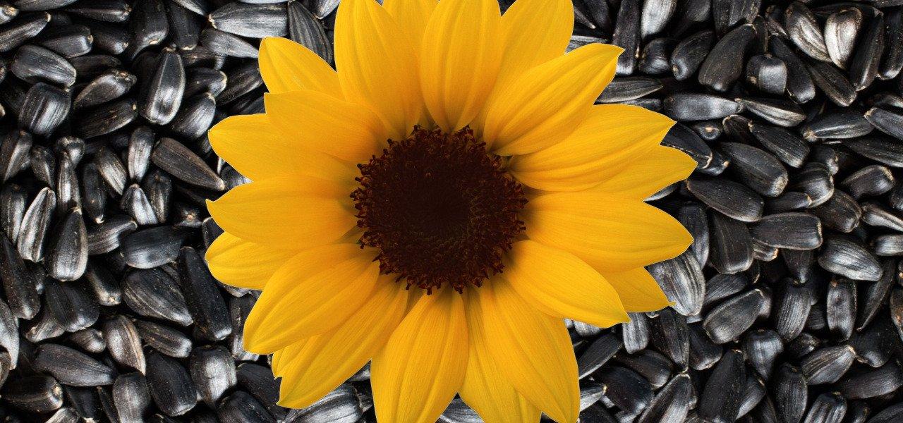 Cum să consumăm semințele de floarea soarelui și ce beneficii ne oferă.