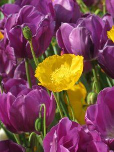Yellow Tulip, Floriade