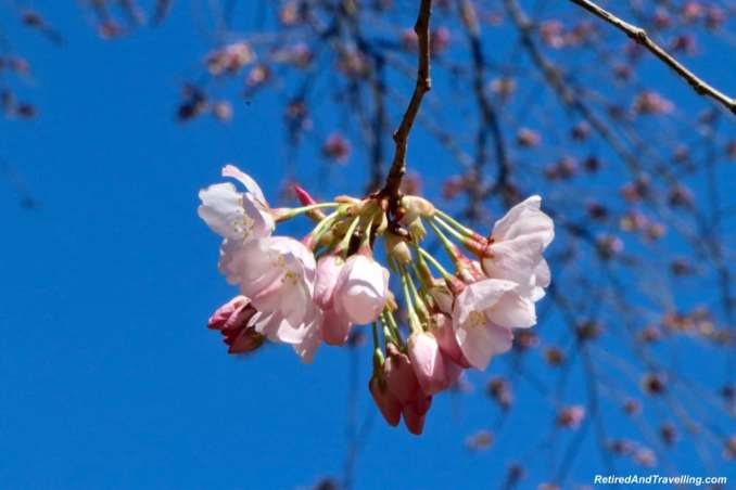 Japanese Plum Blossom Up Close - Experience Cherry Blossoms In Washington DC.jpg