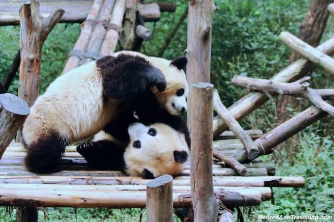 Pandas Play - Cute Panda Bears In Chengdu China.jpg