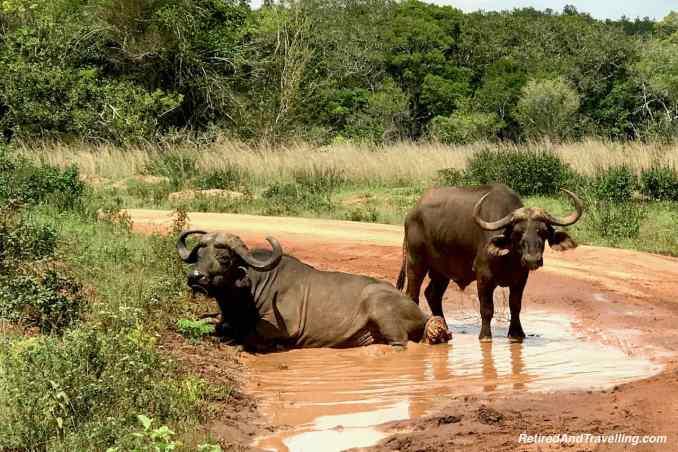 Africa Buffalo.jpg