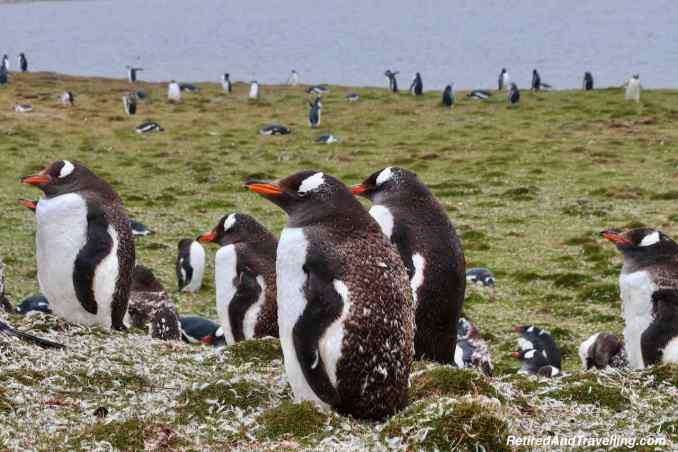 South America Falkland Islands Gentoo Penguins - Bucket List Animal Encounters Around The World.jpg