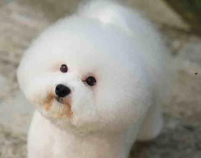 bichon frise - good dog breed for seniors