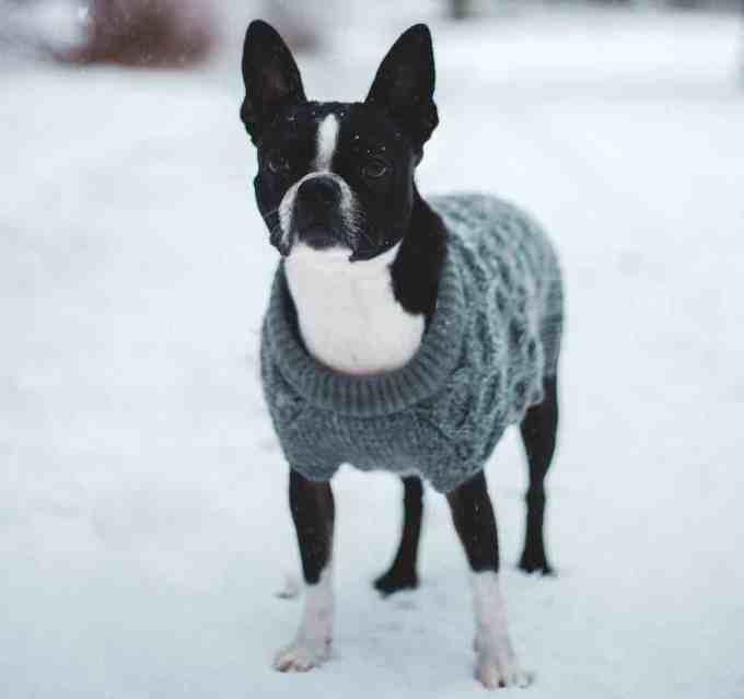 best dogs for seniors - Boston Terrier