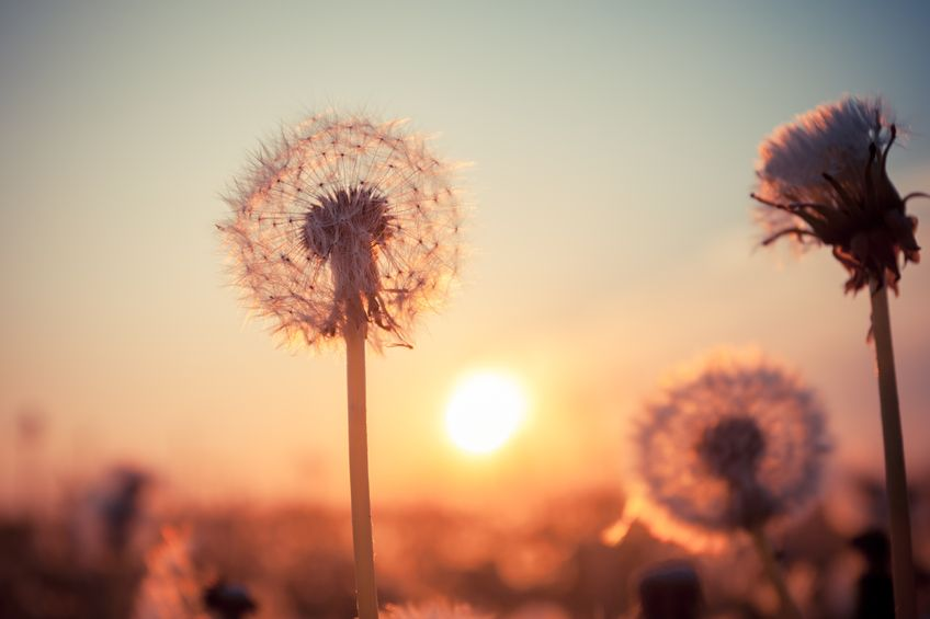 20193517 - real field and dandelion at summer sunset