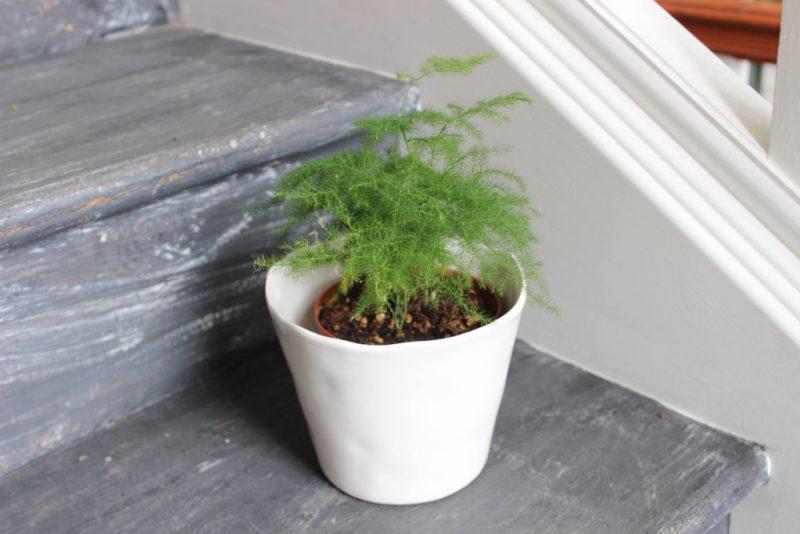 single asparagus plumosa fern in white pot