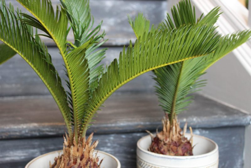 Two sago palms